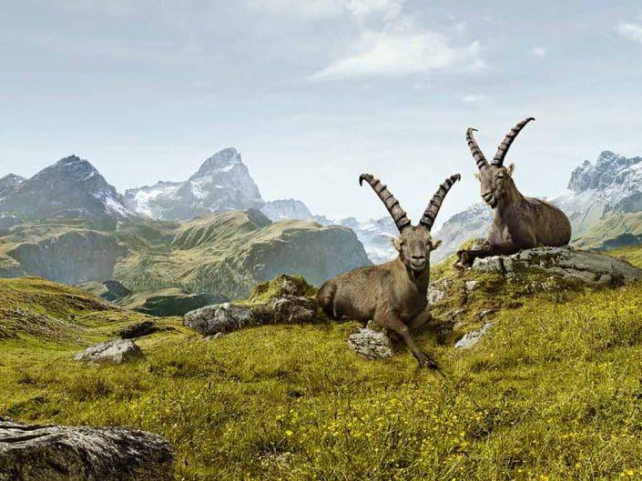Tiere in den Alpen MTB Alpencross Tour Grischa MTB Ride